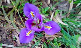 Οι όμορφες Ίριδες της Γιάλοβας, γράφει η Γιάννα